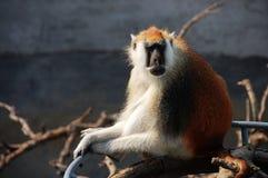 Chinese Golden monkey Royalty Free Stock Photography