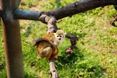 Chinese Golden monkey Royalty Free Stock Images
