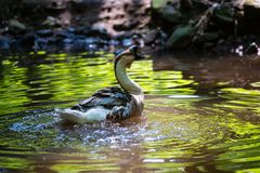 Free Chinese Goos Swimming In A Little Lake Royalty Free Stock Photo - 126914815