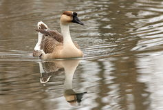Chinese Goose Stock Images