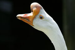 Chinese goose Royalty Free Stock Images