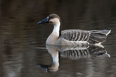 Chinese goose, Anser anser domesticus. Single bird swimming on water stock image