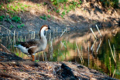Chinese goose Royalty Free Stock Photo