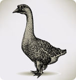 Chinese goose bird, hand-drawing. Vector illustrat Royalty Free Stock Photography