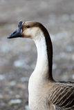 Chinese Goose Stock Image