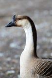 Chinese Goose Stock Image