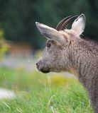 Chinese Goral Royalty Free Stock Photography