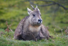 Chinese Goral Royalty Free Stock Image