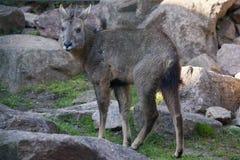 Chinese goral (Nemorhaedus griseus). Stock Images