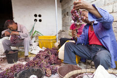 Chinese Grape Harvest. Chinese farmers sort through bunches of grapes, picking out bad grapes and boxing them up for delivery to market Stock Photos