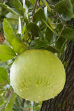 Chinese Grapefruit Called Pomelo Stock Images