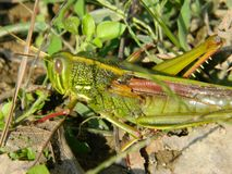 Chinese grasshopper stock images