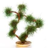 Chinese green bonsai tree Stock Image