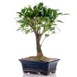 Chinese green bonsai tree Royalty Free Stock Photography