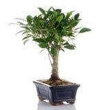 Chinese green bonsai tree Stock Photos