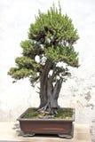 Chinese groene bonsaiboom stock afbeeldingen