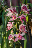 Chinese ground orchid blooming and leaf. Stock Photos