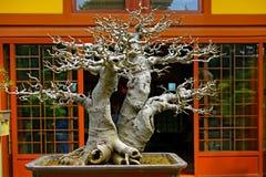 Chinese hackberry bonsaiinstallatie Stock Foto