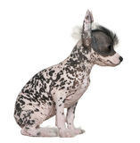 Chinese hairless crested dog Royalty Free Stock Photography