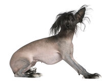 Chinese hairless crested dog Stock Image