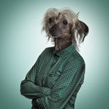 Chinese hairless crested dog wearing a green shirt, green backgr Royalty Free Stock Photo