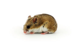 Chinese hamster Royalty Free Stock Images