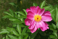Chinese harbaceous peony Royalty Free Stock Images