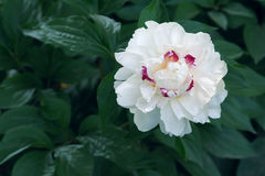 Chinese harbaceous peony Stock Photos