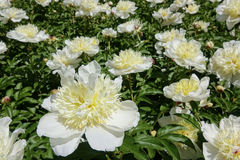 Chinese harbaceous peony Royalty Free Stock Image