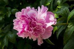 Chinese herbaceous peony Royalty Free Stock Photo