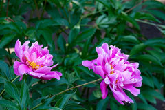 Chinese herbaceous peony Royalty Free Stock Photos