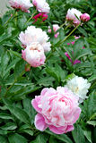 Chinese herbaceous Peony flower-Paeonia lactiflora Stock Photos