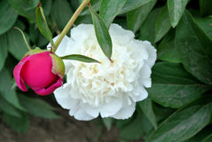 Chinese herbaceous Peony flower-Paeonia lactiflora Royalty Free Stock Image