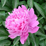 Chinese herbaceous Peony flower-Paeonia lactiflora Stock Images