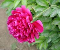 Chinese herbaceous Peony flower-Paeonia lactiflora Stock Image