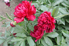 Chinese herbaceous Peony flower-Paeonia lactiflora Royalty Free Stock Photos