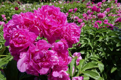 Chinese herbaceous peony flowers Stock Photo