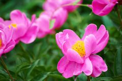 Chinese herbaceous peony Stock Photos