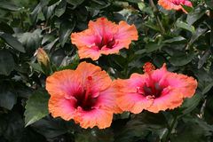 Chinese hibiscus Stock Photo