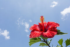 Chinese hibiscus Stock Images
