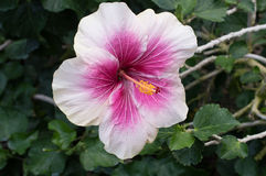 Chinese Hibiscus `Candy Striper`. Hibiscus rosa-sinensis, known colloquially as Chinese hibiscus, China rose, Hawaiian hibiscus, and shoeblackplant, is a species Stock Photography