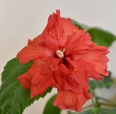 Chinese hibiscus, china rose, rose mallow, shoeblackplant. Hibisceae tribe Stock Photos
