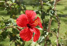 Chinese hibiscus flower Royalty Free Stock Image