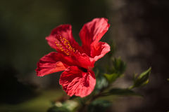 Chinese hibiscus (Hibiscus rosa-sinensis) Royalty Free Stock Photos