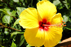 Chinese Hibiscus Latin name Hibiscus rosa sinensis Stock Images