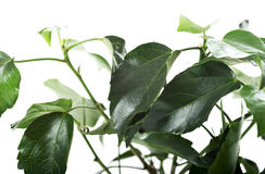 Chinese hibiscus leaves Stock Images