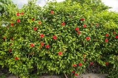 Chinese hibiscus trees Stock Photos