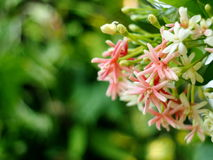 Chinese honey Suckle, Rangoon creeper, colorful red pink tiny tropical fragrant flowers Stock Photography