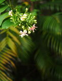 Chinese honey Suckle, Rangoon creeper, colorful red pink tiny tropical fragrant flowers Stock Image