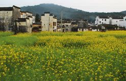 Chinese Hui buildings in yellow rape flower field Stock Images